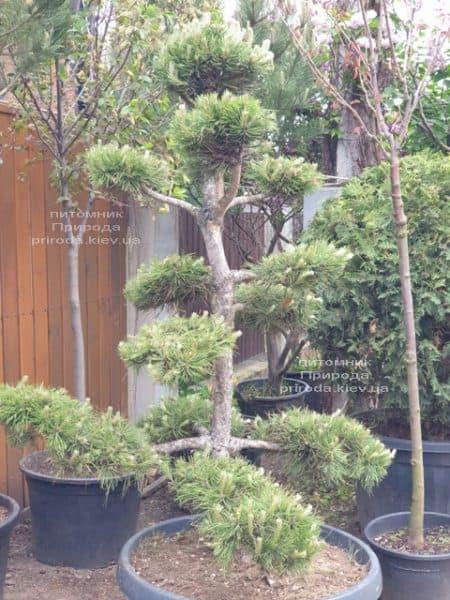 Сосна звичайна Бонсай (Pinus sylvestris Bonsai) ФОТО Розплідник рослин Природа (3)