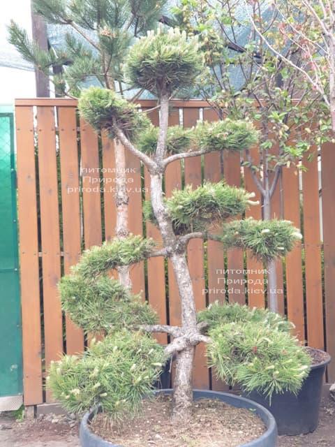 Сосна звичайна Бонсай (Pinus sylvestris Bonsai) ФОТО Розплідник рослин Природа (4)