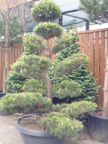 Сосна обыкновенная Бонсай (Pinus sylvestris Bonsai) ФОТО Питомник растений Природа