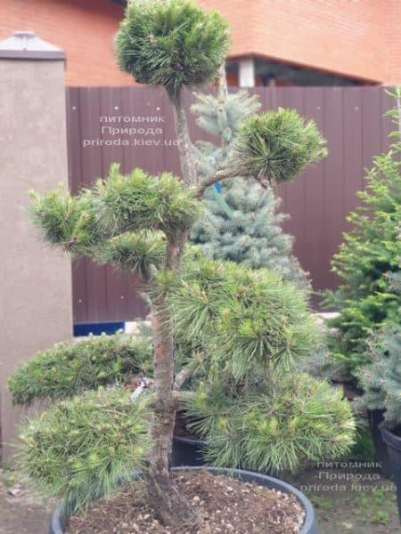 Сосна обыкновенная Бонсай (Pinus sylvestris Bonsai) ФОТО Питомник растений Природа (5)