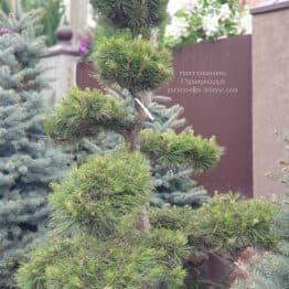 Сосна звичайна Бонсай (Pinus sylvestris Bonsai) ФОТО Розплідник рослин Природа (6)