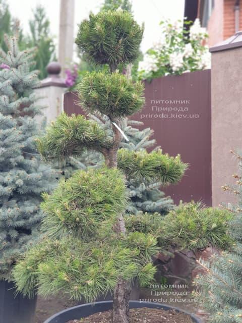 Сосна обыкновенная Бонсай (Pinus sylvestris Bonsai) ФОТО Питомник растений Природа (6)