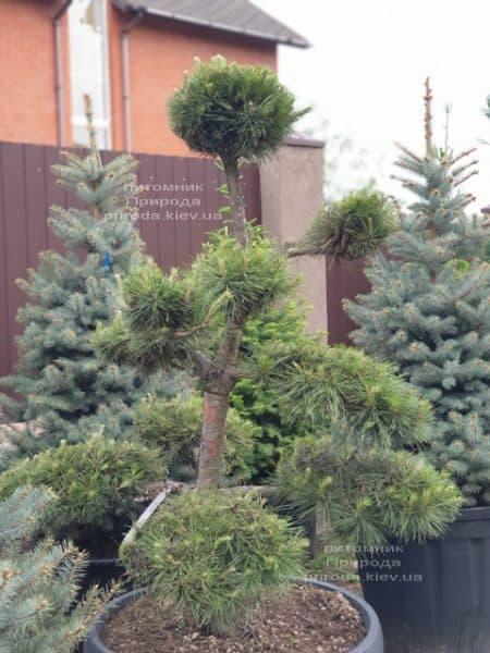 Сосна обыкновенная Бонсай (Pinus sylvestris Bonsai) ФОТО Питомник растений Природа (7)