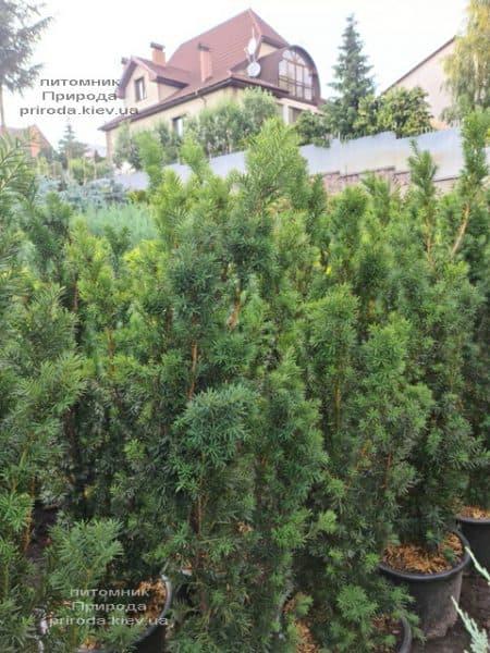 Тис средний Хикси (Taxus media Hicksii) ФОТО Питомник растений Природа (10)
