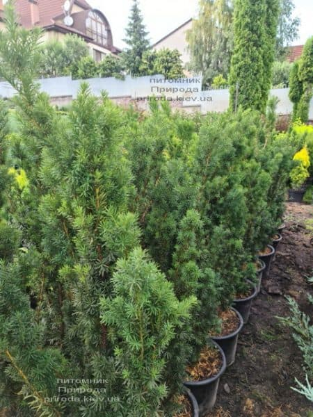 Тис средний Хикси (Taxus media Hicksii) ФОТО Питомник растений Природа (7)