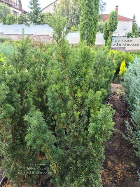 Тис средний Хикси (Taxus media Hicksii) ФОТО Питомник растений Природа (8)