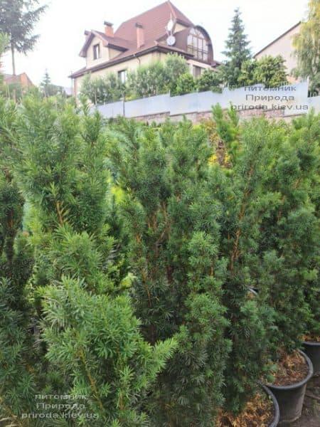 Тис средний Хикси (Taxus media Hicksii) ФОТО Питомник растений Природа (9)