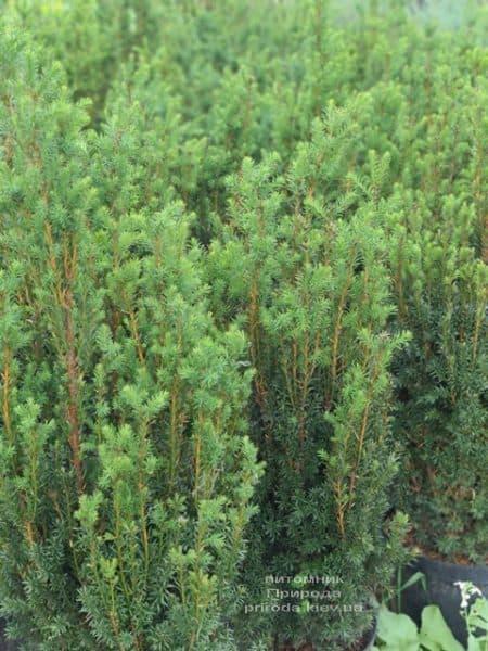 Тис средний Хилии (Taxus media Hillii) ФОТО Питомник растений Природа (15)
