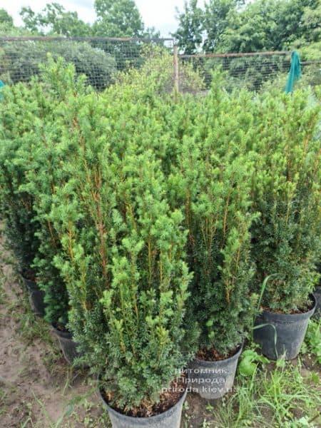 Тис средний Хилии (Taxus media Hillii) ФОТО Питомник растений Природа (17)