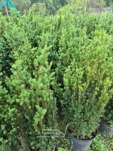 Тис средний Хилии (Taxus media Hillii) ФОТО Питомник растений Природа (18)