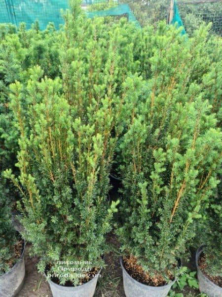 Тис средний Хилии (Taxus media Hillii) ФОТО Питомник растений Природа (19)