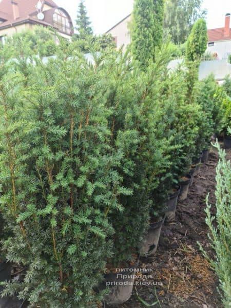 Тис средний Хилии (Taxus media Hillii) ФОТО Питомник растений Природа (21)