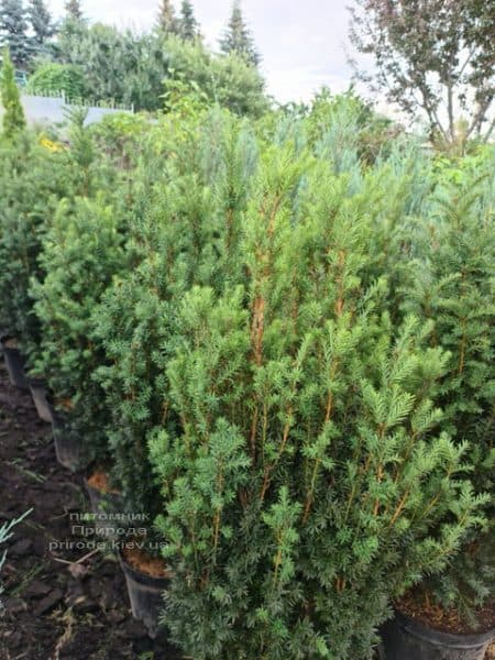 Тис средний Хилии (Taxus media Hillii) ФОТО Питомник растений Природа (22)
