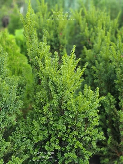 Тис средний Хилии (Taxus media Hillii) ФОТО Питомник растений Природа (25)