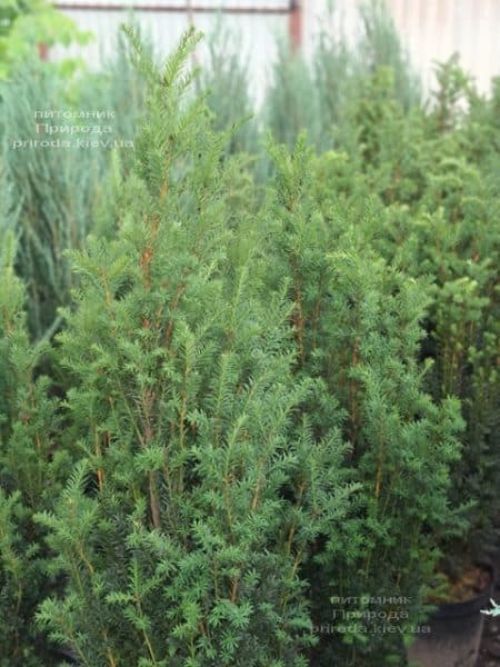 Тис средний Хилии (Taxus media Hillii) ФОТО Питомник растений Природа (26)