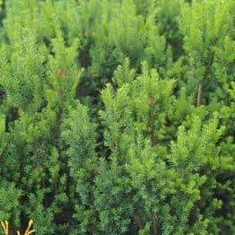 Тис средний Хилии (Taxus media Hillii) ФОТО Питомник растений Природа (27)