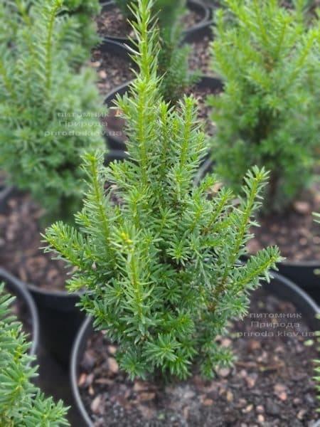 Тис средний Хилии (Taxus media Hillii) ФОТО Питомник растений Природа (28)