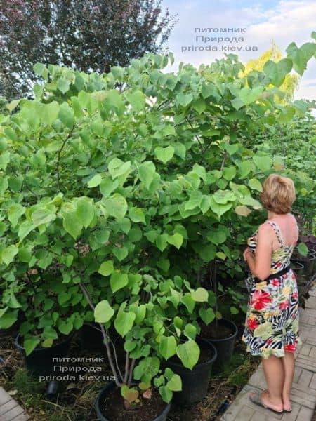 Церцис канадский (Cercis canadensis) ФОТО Питомник растений Природа (15)