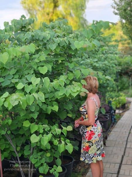 Церцис канадский (Cercis canadensis) ФОТО Питомник растений Природа (16)