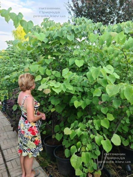 Церцис канадский (Cercis canadensis) ФОТО Питомник растений Природа (17)