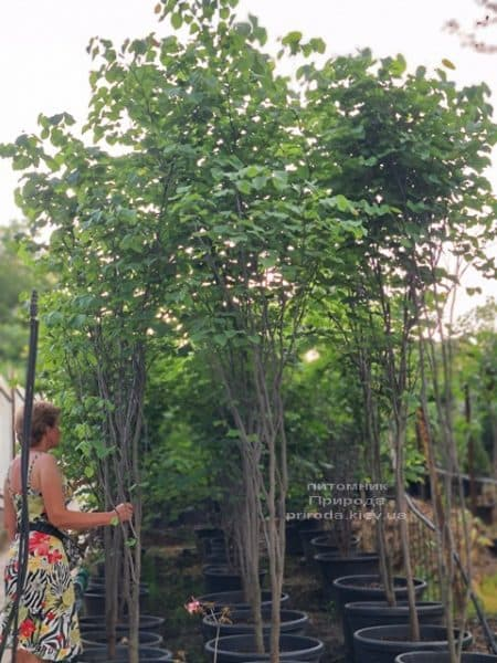 Церцис канадский (Cercis canadensis) ФОТО Питомник растений Природа (18)