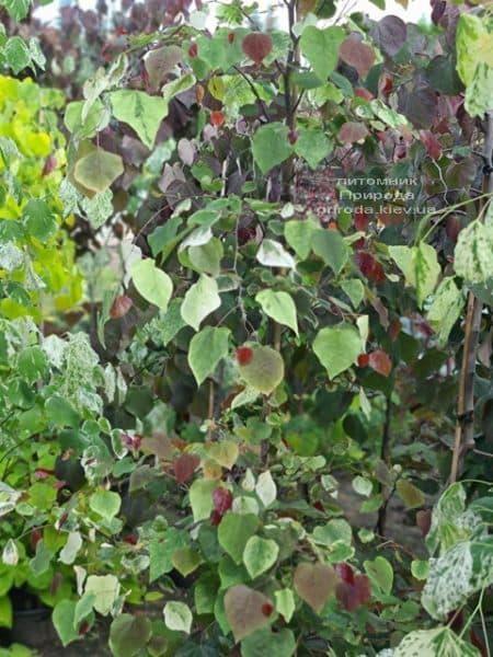 Церцис канадський Кароліна (Cercis canadensis Carolina Sweetheart) ФОТО Розплідник рослин Природа (10)