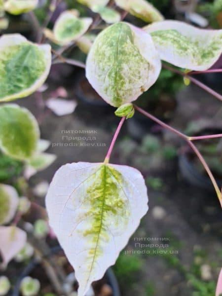 Церцис канадський Кароліна (Cercis canadensis Carolina Sweetheart) ФОТО Розплідник рослин Природа (11)