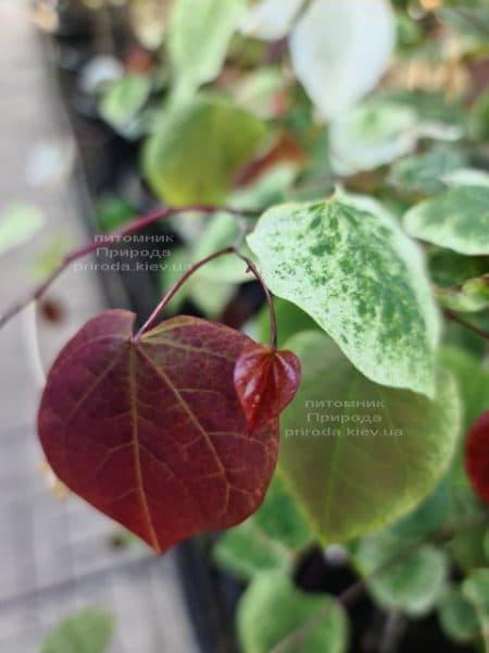 Церцис канадський Кароліна (Cercis canadensis Carolina Sweetheart) ФОТО Розплідник рослин Природа (16)