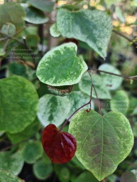 Церцис канадський Кароліна (Cercis canadensis Carolina Sweetheart) ФОТО Розплідник рослин Природа (18)