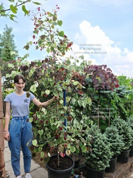 Церцис канадський Кароліна (Cercis canadensis Carolina Sweetheart) ФОТО Розплідник рослин Природа (2)