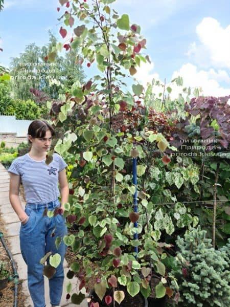 Церцис канадський Кароліна (Cercis canadensis Carolina Sweetheart) ФОТО Розплідник рослин Природа (3)