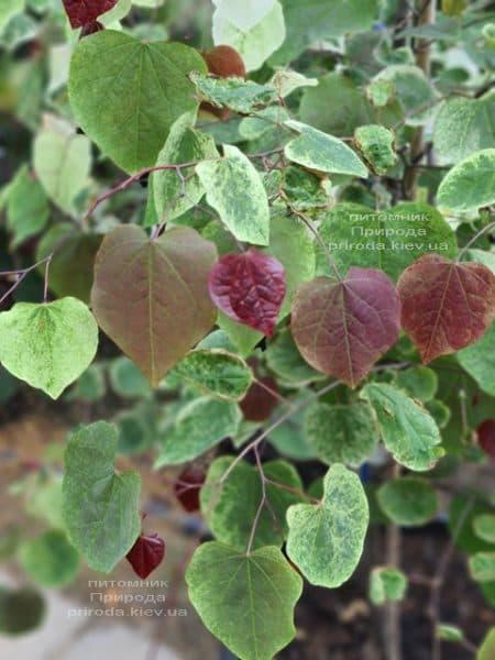 Церцис канадський Кароліна (Cercis canadensis Carolina Sweetheart) ФОТО Розплідник рослин Природа (4)