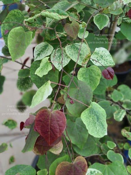 Церцис канадський Кароліна (Cercis canadensis Carolina Sweetheart) ФОТО Розплідник рослин Природа (5)