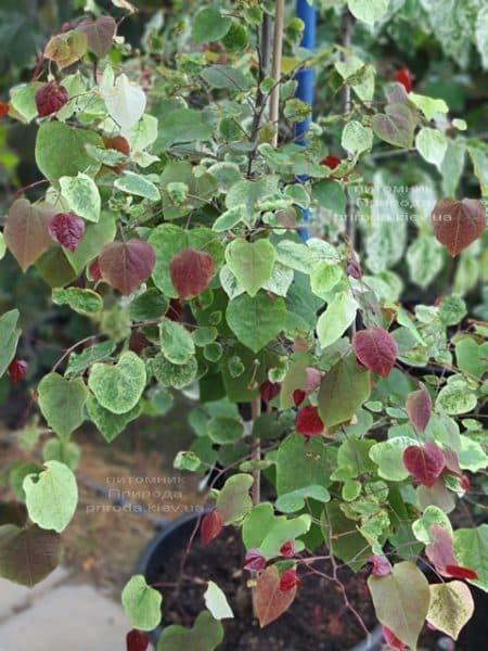 Церцис канадський Кароліна (Cercis canadensis Carolina Sweetheart) ФОТО Розплідник рослин Природа (6)