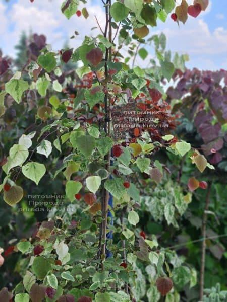 Церцис канадський Кароліна (Cercis canadensis Carolina Sweetheart) ФОТО Розплідник рослин Природа (7)