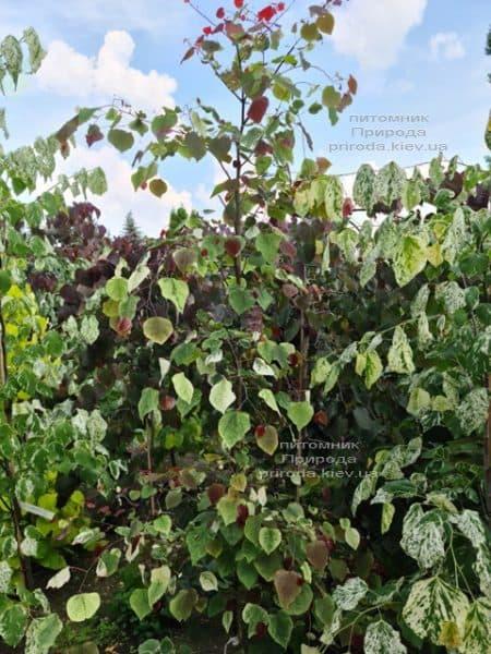 Церцис канадський Кароліна (Cercis canadensis Carolina Sweetheart) ФОТО Розплідник рослин Природа (8)