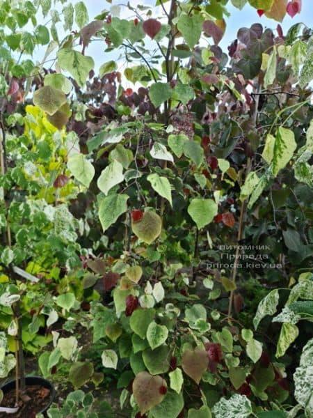 Церцис канадський Кароліна (Cercis canadensis Carolina Sweetheart) ФОТО Розплідник рослин Природа (9)