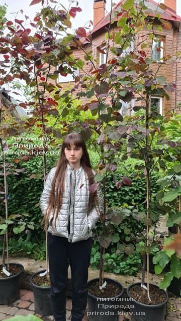 Церцис канадский Форест Панси (Cercis canadensis Forest Pansy) ФОТО Питомник растений Природа (10)