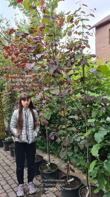 Церцис канадский Форест Панси (Cercis canadensis Forest Pansy) ФОТО Питомник растений Природа (11)