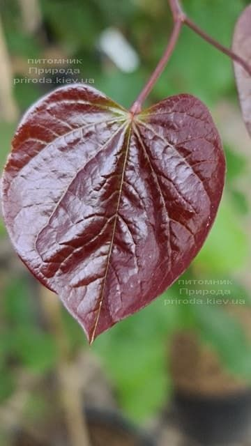 Церцис канадский Форест Панси (Cercis canadensis Forest Pansy) ФОТО Питомник растений Природа (13)