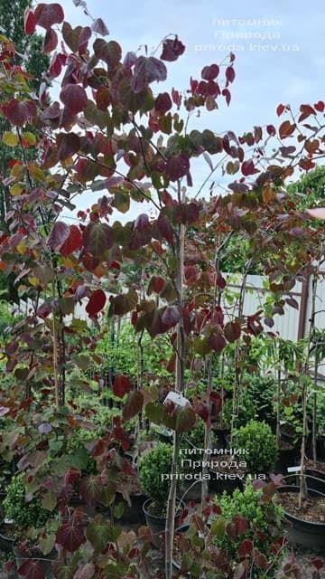 Церцис канадский Форест Панси (Cercis canadensis Forest Pansy) ФОТО Питомник растений Природа (14)