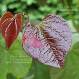 Церцис канадський Форест Панси (Cercis canadensis Forest Pansy) ФОТО Розплідник рослин Природа (15)