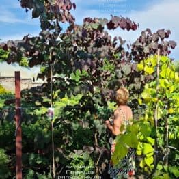 Церцис канадський Форест Панси (Cercis canadensis Forest Pansy) ФОТО Розплідник рослин Природа (16)