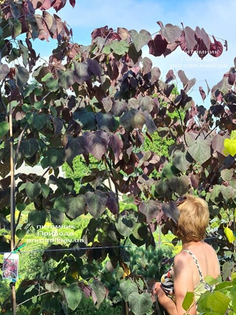 Церцис канадский Форест Панси (Cercis canadensis Forest Pansy) ФОТО Питомник растений Природа (17)