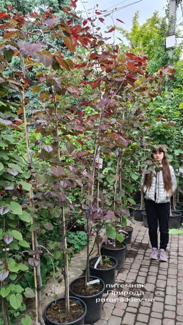 Церцис канадский Форест Панси (Cercis canadensis Forest Pansy) ФОТО Питомник растений Природа (9)