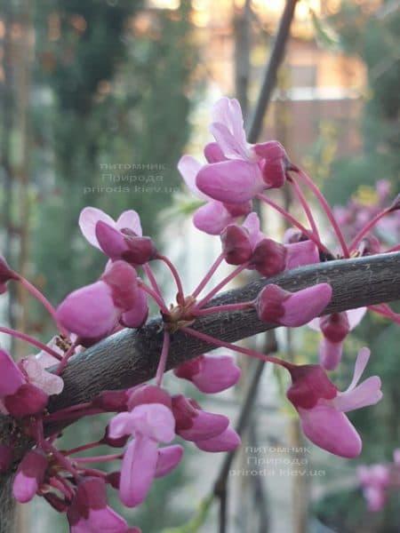 Церцис канадский Лавендер Твист (Cercis canadensis Lavender Twist) ФОТО Питомник растений Природа (1)