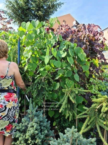 Церцис канадский Лавендер Твист (Cercis canadensis Lavender Twist) ФОТО Питомник растений Природа (10)