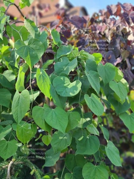 Церцис канадский Лавендер Твист (Cercis canadensis Lavender Twist) ФОТО Питомник растений Природа (12)