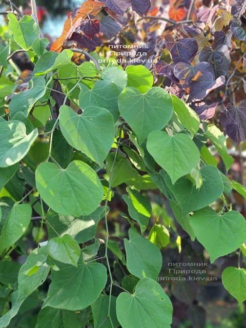 Церцис канадский Лавендер Твист (Cercis canadensis Lavender Twist) ФОТО Питомник растений Природа (13)