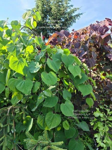 Церцис канадский Лавендер Твист (Cercis canadensis Lavender Twist) ФОТО Питомник растений Природа (14)